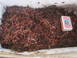Красный червь