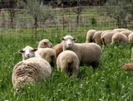 ovcevodstvo-kak-biznes-dlya-nachinayushhego-fermera-2