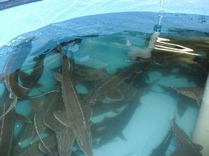 razvedenie-ryby-v-iskusstvennyx-vodoemax-kak-biznes-1