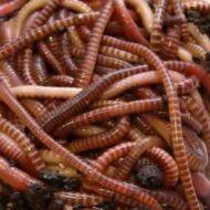 Разведение червей в домашних условиях как выгодный бизнес
