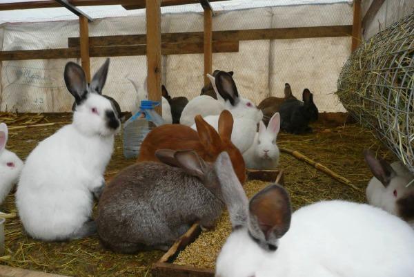 Выращивание кроликов разных пород